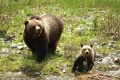 Grizzly Bear sow and cub.jpg