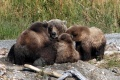 KATM - Brown Bear Nursing Young.jpg